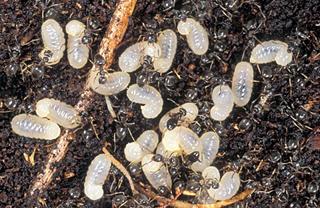 Pavement Ant larvae