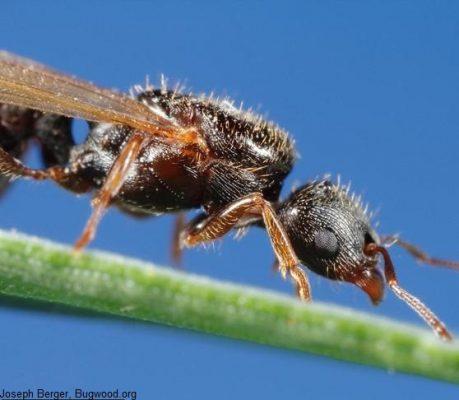 Pavement Ant on leaf