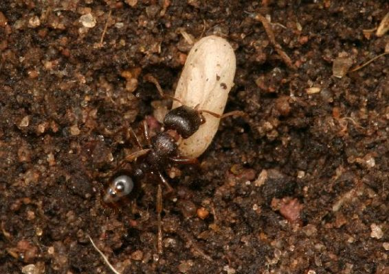 Pavement Ant worker