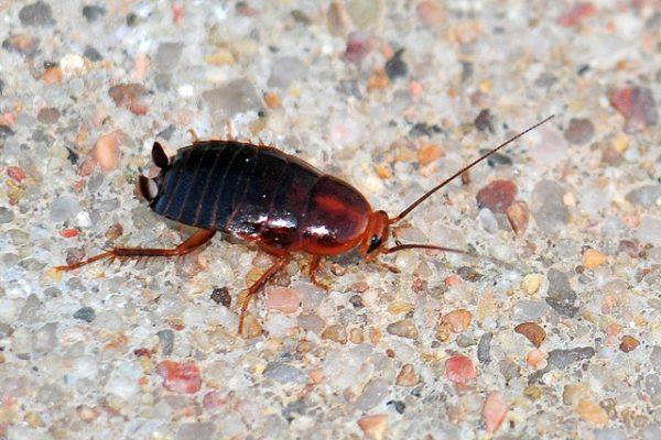 Pennsylvania Wood Roach Nymph