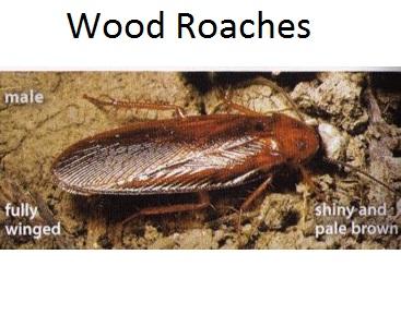 Pennsylvania Wood Roach male colors