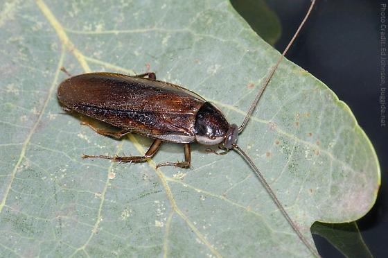 Pennsylvania Wood Roach on Leaf 1
