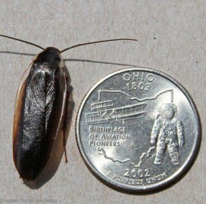 Pennsylvania Wood Roach size comparison 1