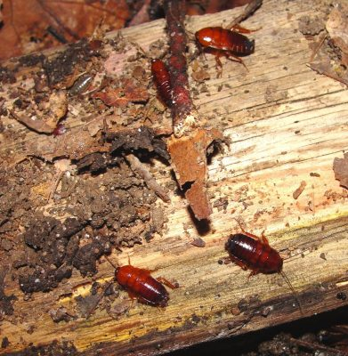 Pennsylvania Wood Roaches on fire wood