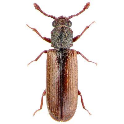 Powderpost Beetle Colors