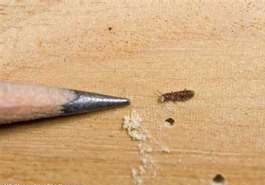 Powderpost Beetle Size compared to pencil tip