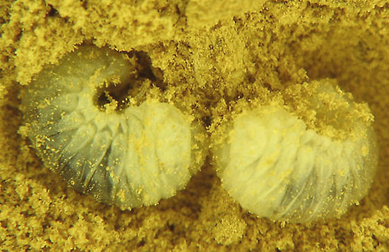 Powderpost Beetle larvae in wood shavings