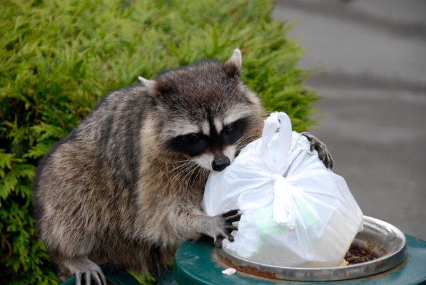 Raccoon in trash