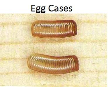 Roach egg sacs 1