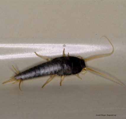 Silverfish full body e1447600010112
