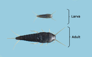 Silverfish larval and adult sizes