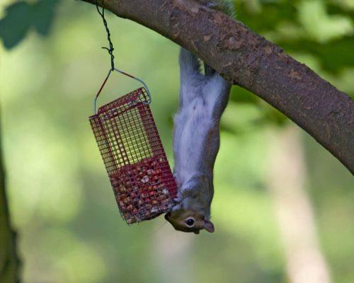 Squirrel at Birdfeeder