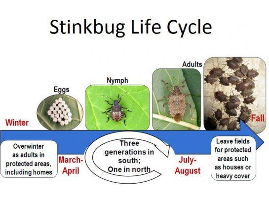 Stinkbug life cycle