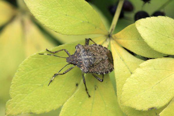 Stinkbug on leaf