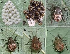 Stinkbug stages of life