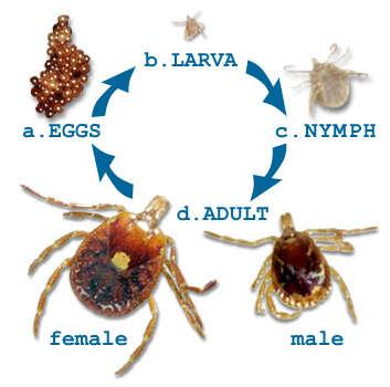Tick life cycle