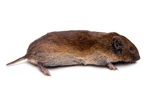 Vole full body