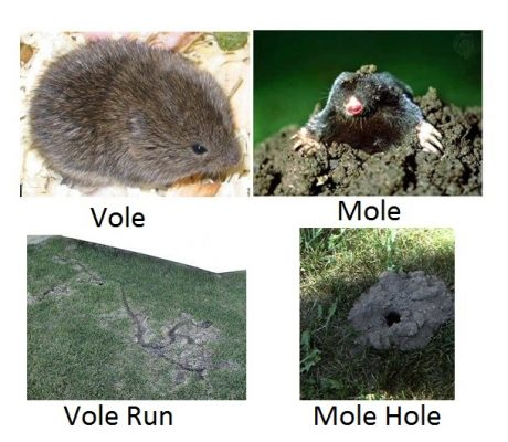 Vole vs Mole and associated damage