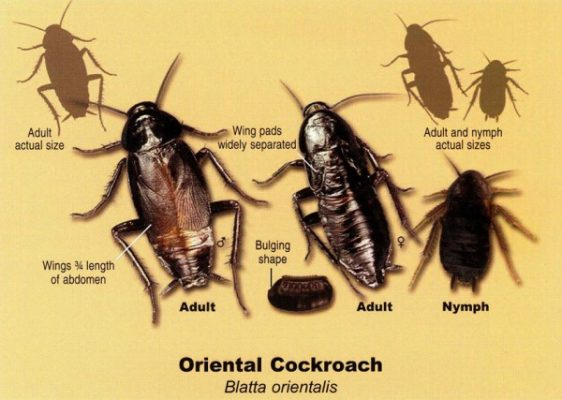 Waterbug or oriental cockroach sizes and life stages e1447604389231