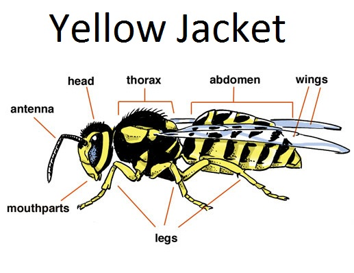Yellowjacket anatomy