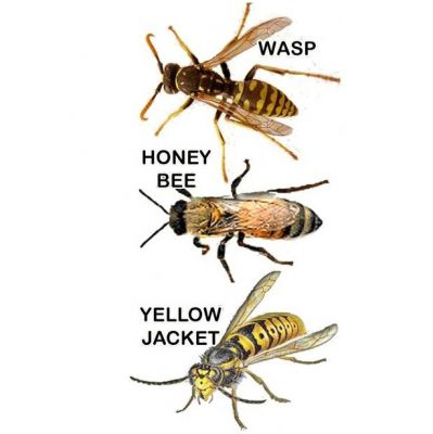 Yellowjacket bee and wasp comparison