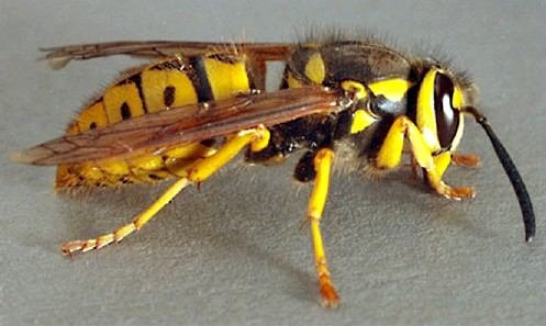 Yellowjacket full haired body detail