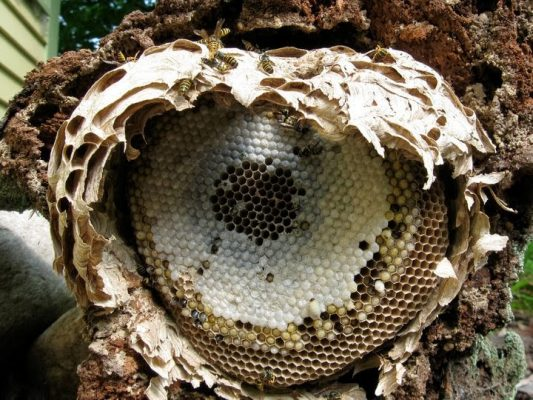 Yellowjacket nest exposed