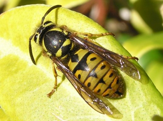 Yellowjacket pattern e1447608550518
