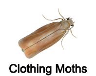 clothing moths