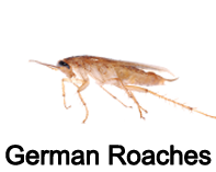 german roaches