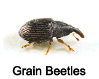 grain beetles