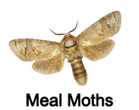 meal moths