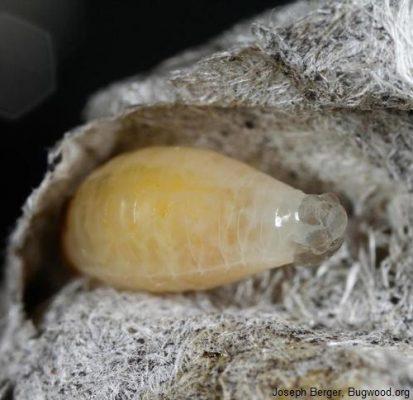paper wasp larva