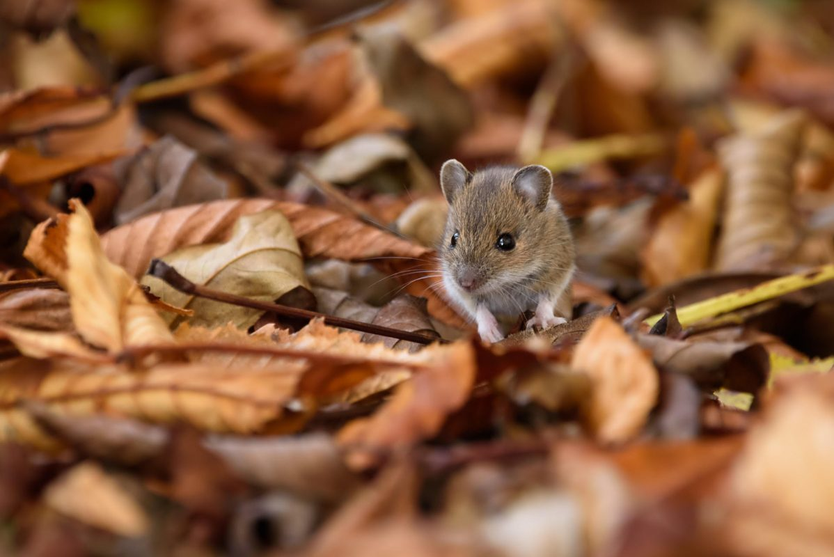 pest control protect your home from mice this fall