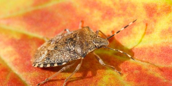 stink bugs fall